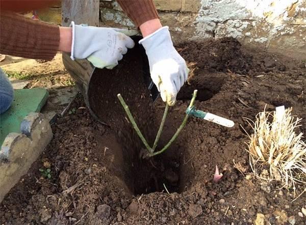 Как правильно посадить розу весной в грунт