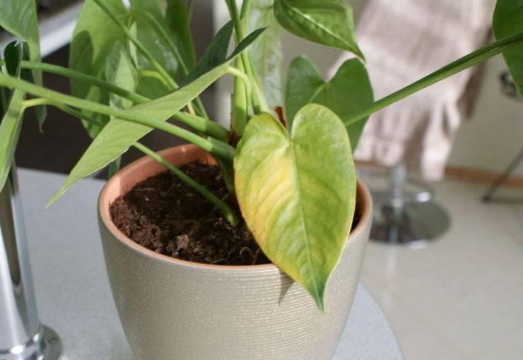 Почему желтеют листья у антуриума причины и их устранение