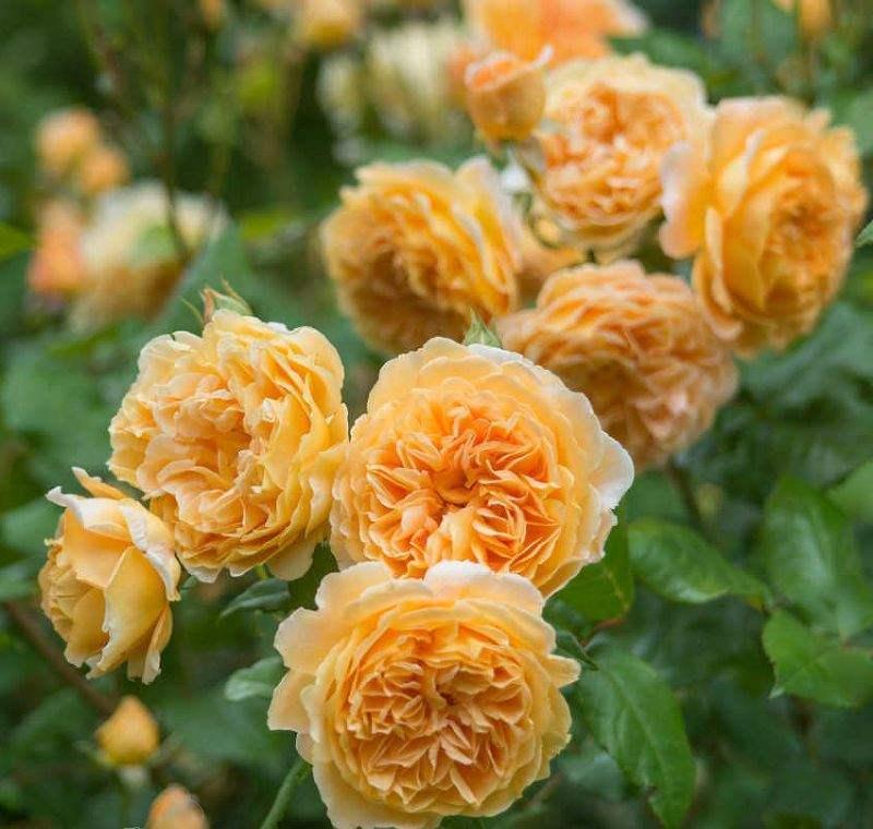 Как посадить розу маргарет меррил и уход за ней. роза принцесса маргарет описание: розы margaret merril