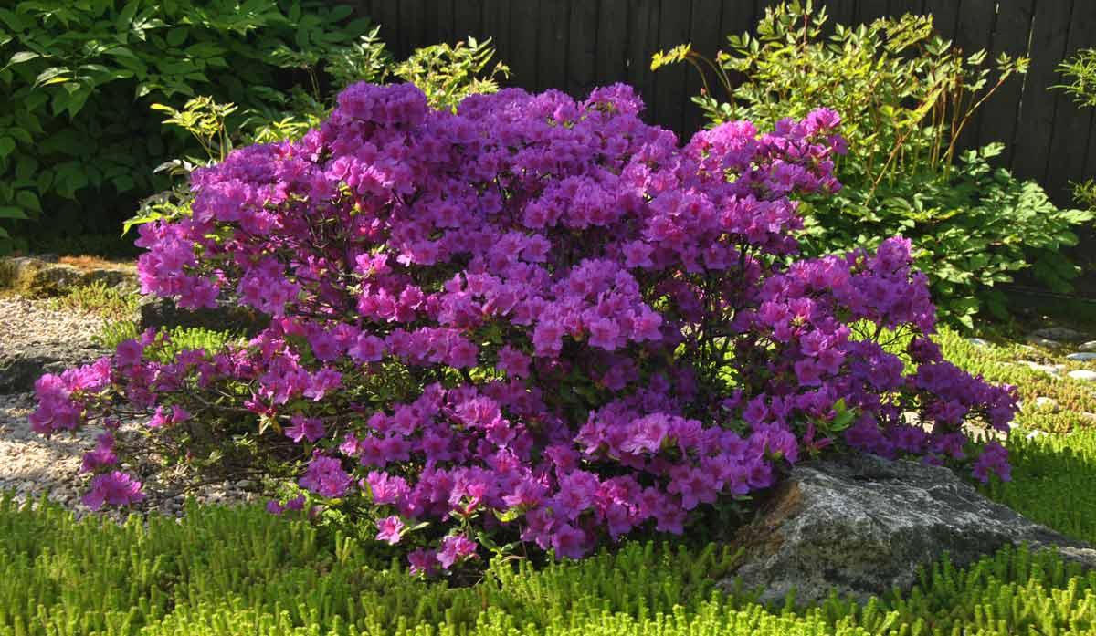 Азалия садовая — выращивание и уход на улице