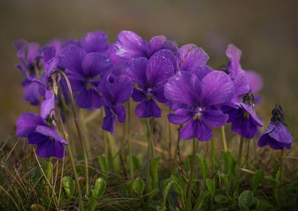Фиалка садовая многолетняя: фото, описание, посадка и уход