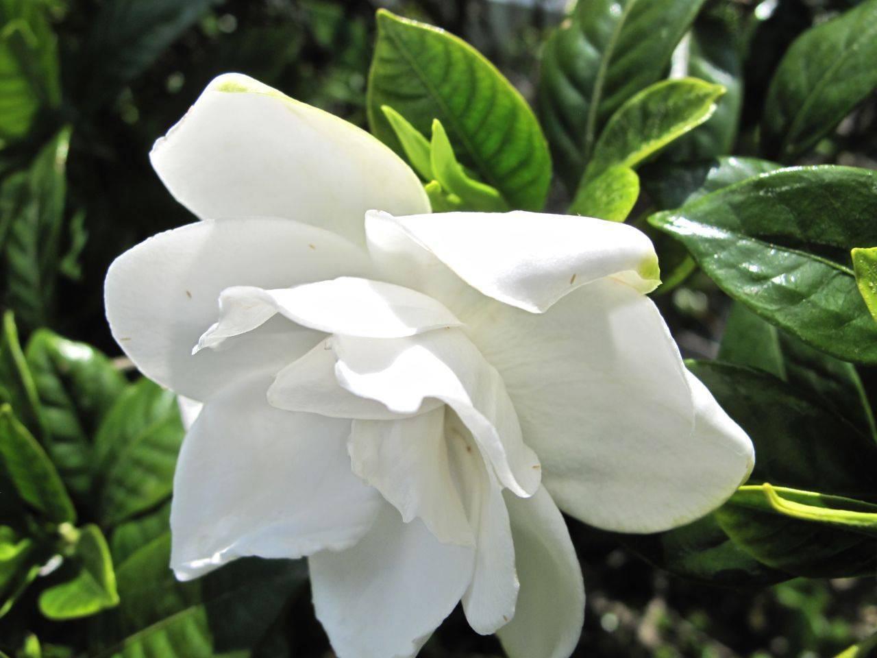 Гардения жасминовидная: сорта, уход и сложности выращивания