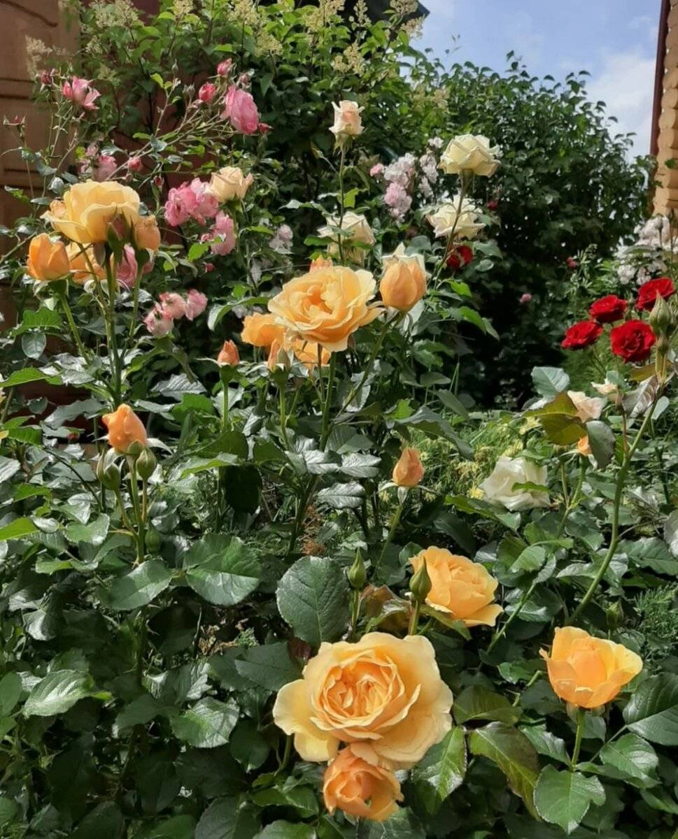 Розы флорибунда, что это такое, как сажать и ухаживать?