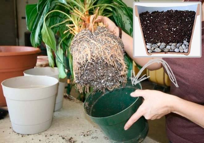 Часто ли нужно пересаживать фикус бенджамина? как правильно посадить растение?