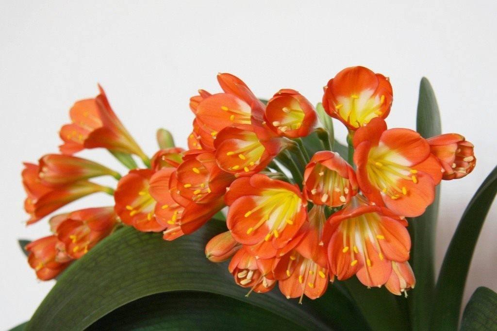 Цветок кливия — уход в домашних условиях и выращивание