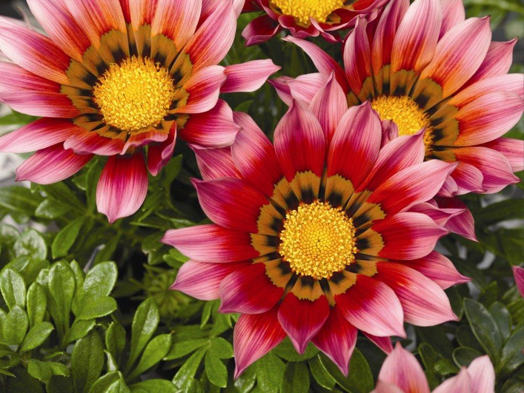 Цветы, похожие на ромашки: названия, фото