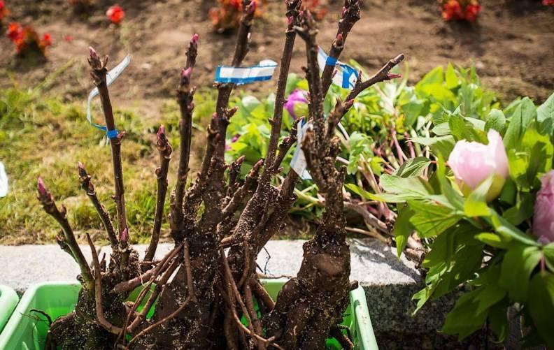 Древовидный пион — уход и выращивание, фото