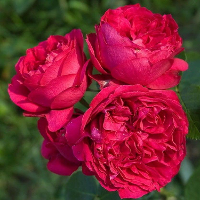 Садовые группы роз и уход за плетистыми формами
