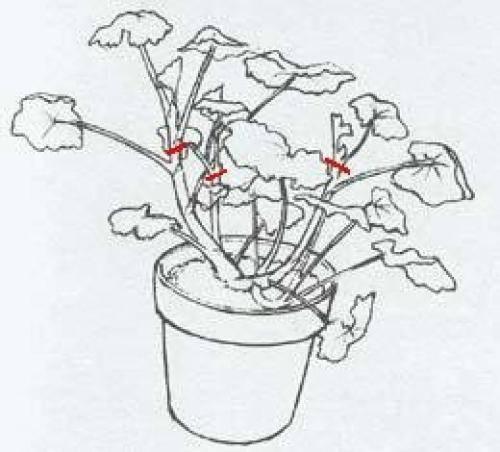 Размножение бегонии черенками в домашних условиях: способы и фото укоренения, в том числе и в воде, как посадить и вырастить ее из стеблевых и листовых побегов?