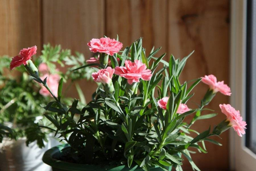 Гвоздика садовая многолетняя: фото цветов, выращивание из семян, посадка, уход и размножение
