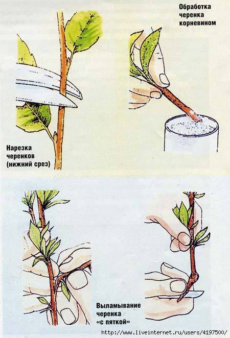 Размножение роз - советы и фото