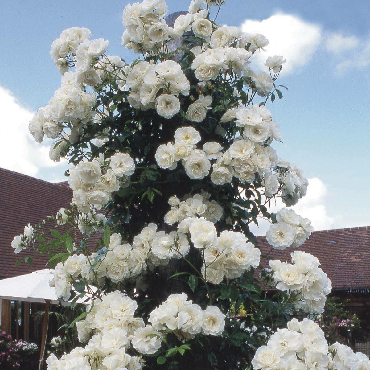 Плетистые розы, которые цветут все лето: зимостойкие сорта