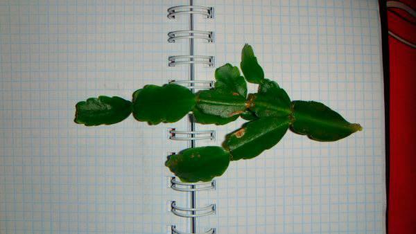 Как размножить декабрист? размножение цветка листами, черенками и семенами в домашних условиях? как рассадить и укоренить комнатное растение?