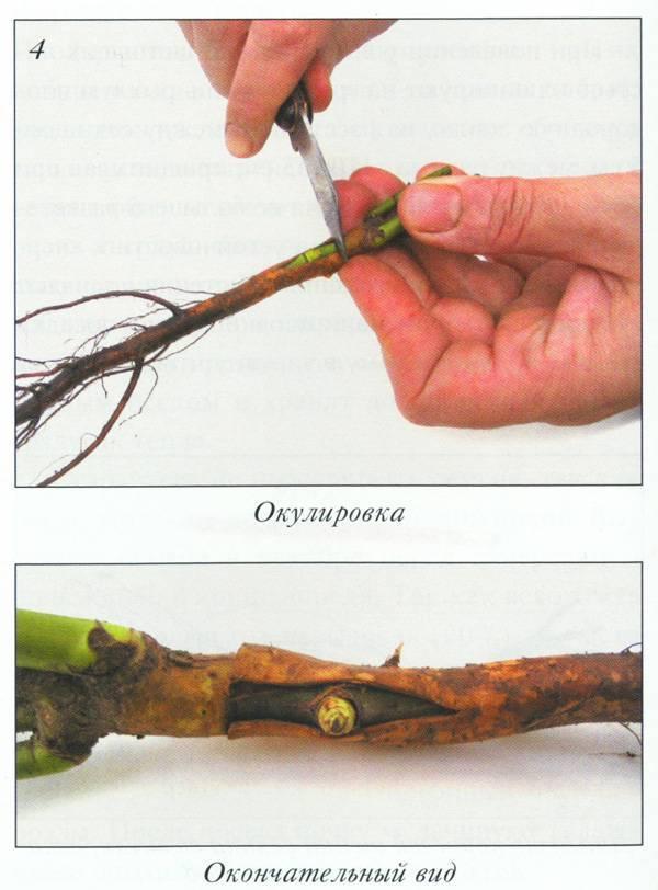 Что надо знать, чтобы успешно привить розу на шиповник