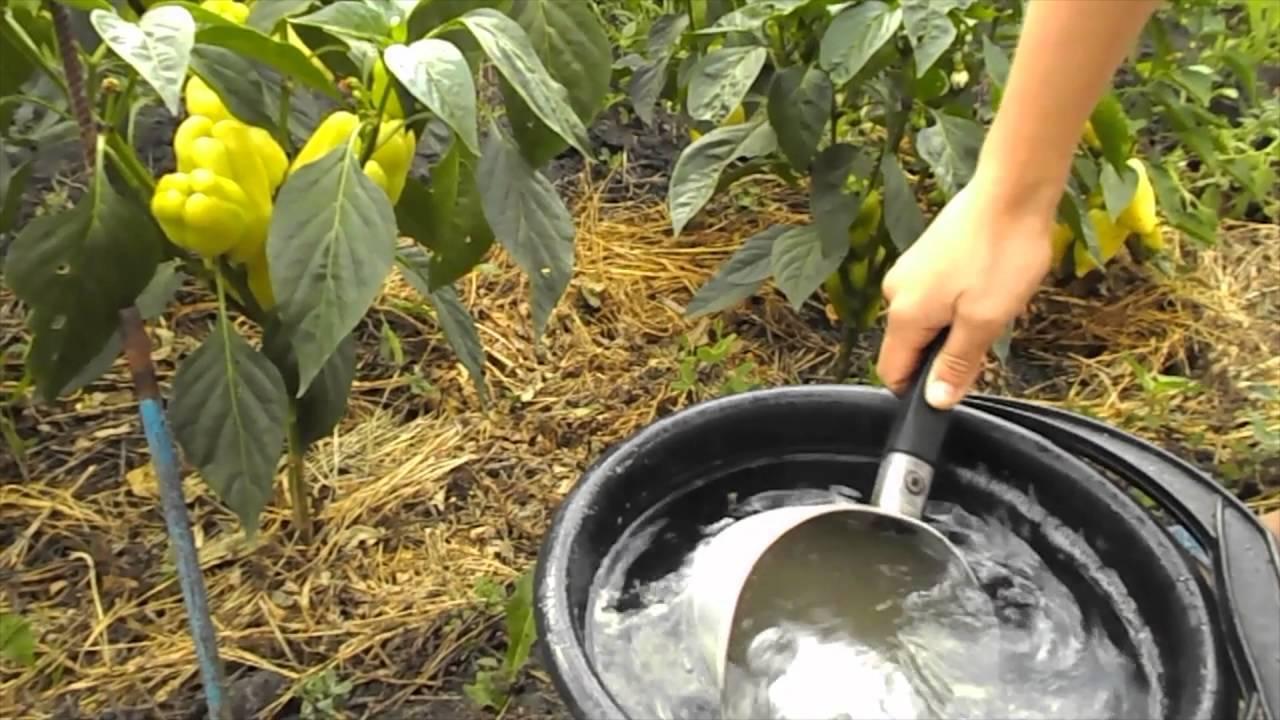 Условия ухода за кордилиной дома: температура, полив, почва, размножение и другие