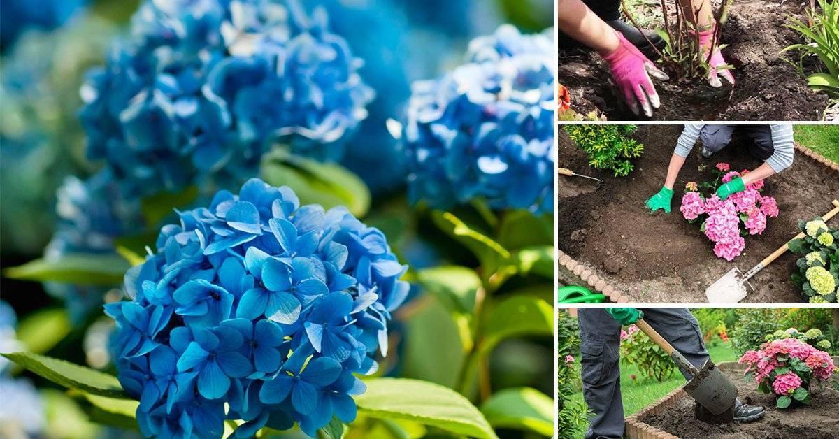 Как вырастить гортензию в саду: правила ухода и способы размножения