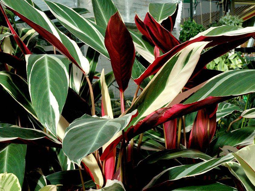 Цветы ктенанта: фото и виды, уход в домашних условиях