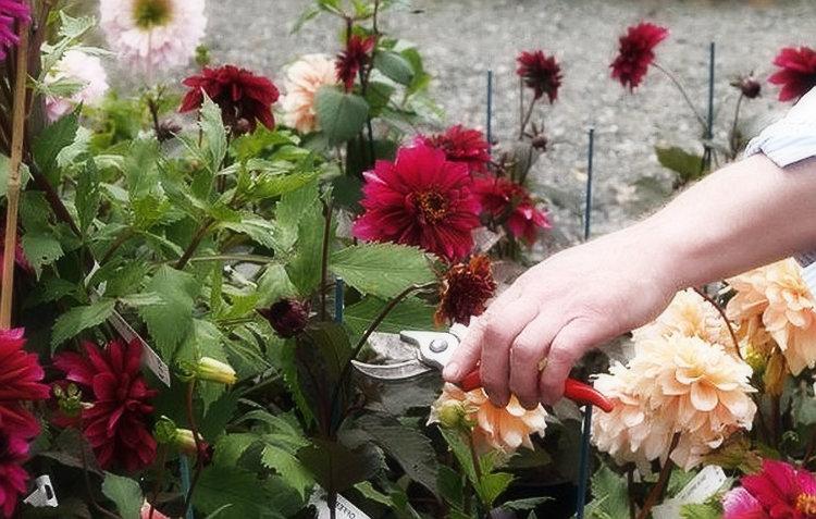 Когда цветут георгины — уход в этот период