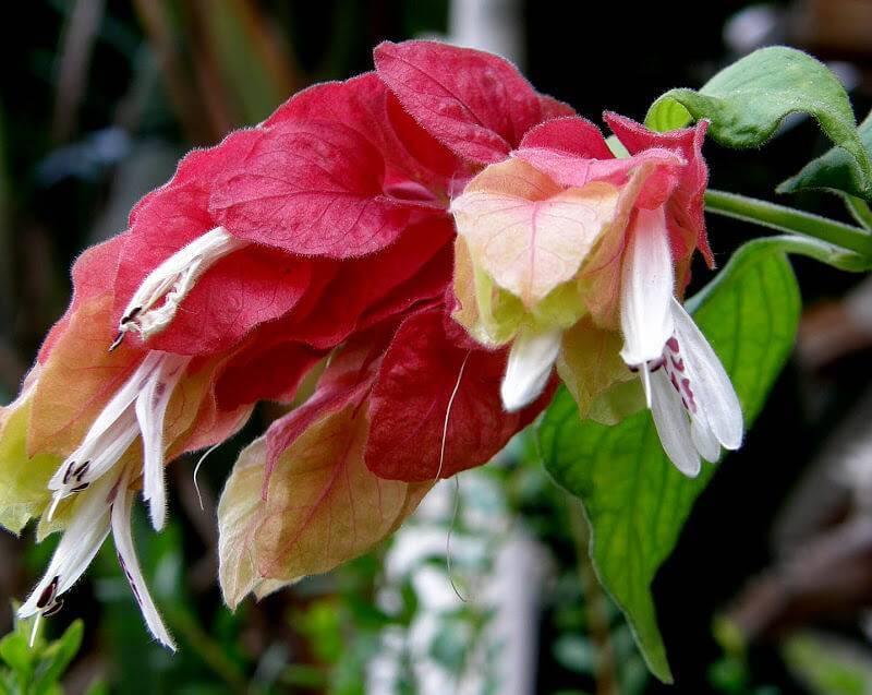 Белопероне: уход в домашних условиях, фото и видео капельного цветка
