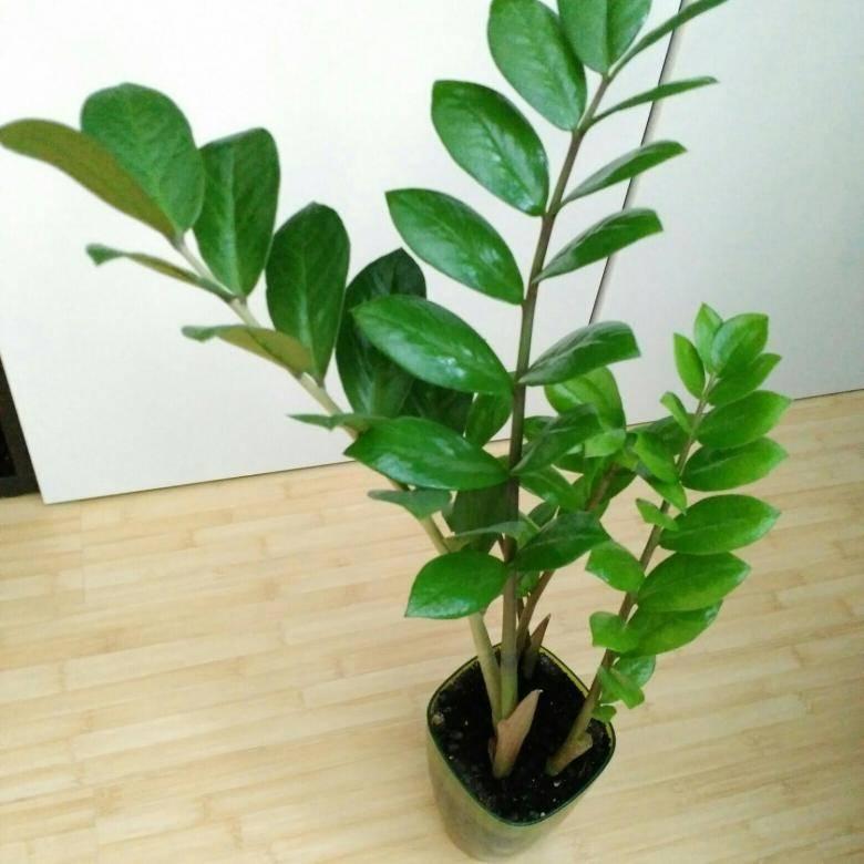 Замиокулькас: описание, советы по выращиванию