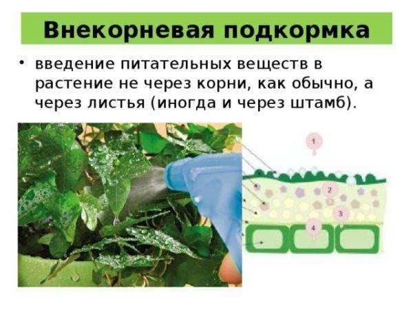 Фикус бенджамина: уход в домашних условиях и размножение черенками, как пересадить