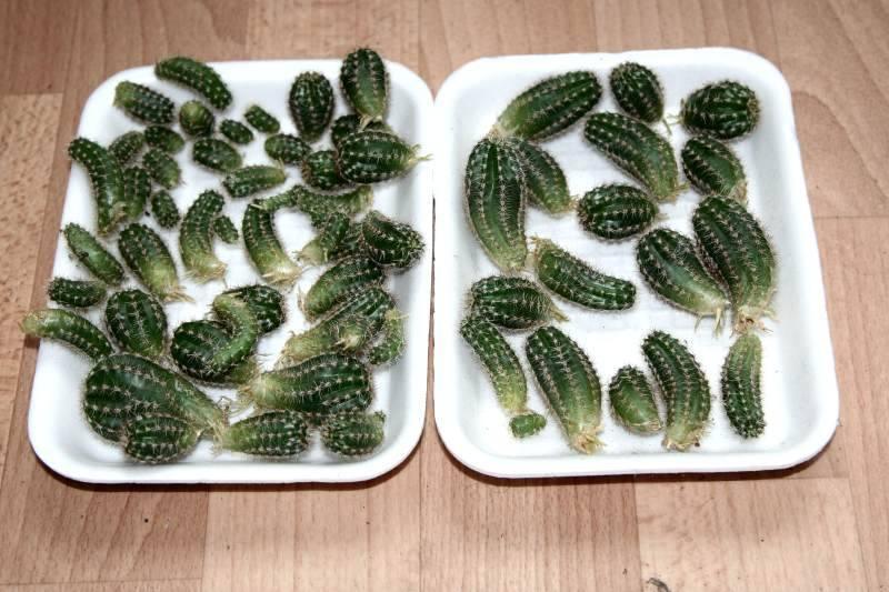 Особенности выращивания и ухода за кактусами