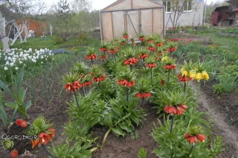 Нужно ли выкапывать рябчики каждый год. уход за рябчиками после цветения и выкапывания из почвы