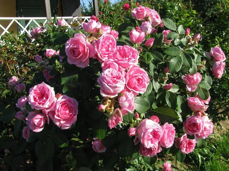 Описание плетистого сорта розы салита: преимущества цветка, как выращивать