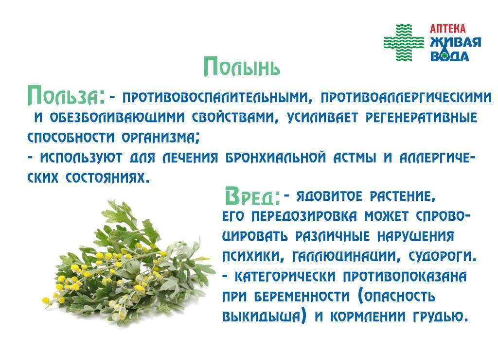 Крестовник крупноязычковый (сенецио макроглоссус): уход, описание растения и фото