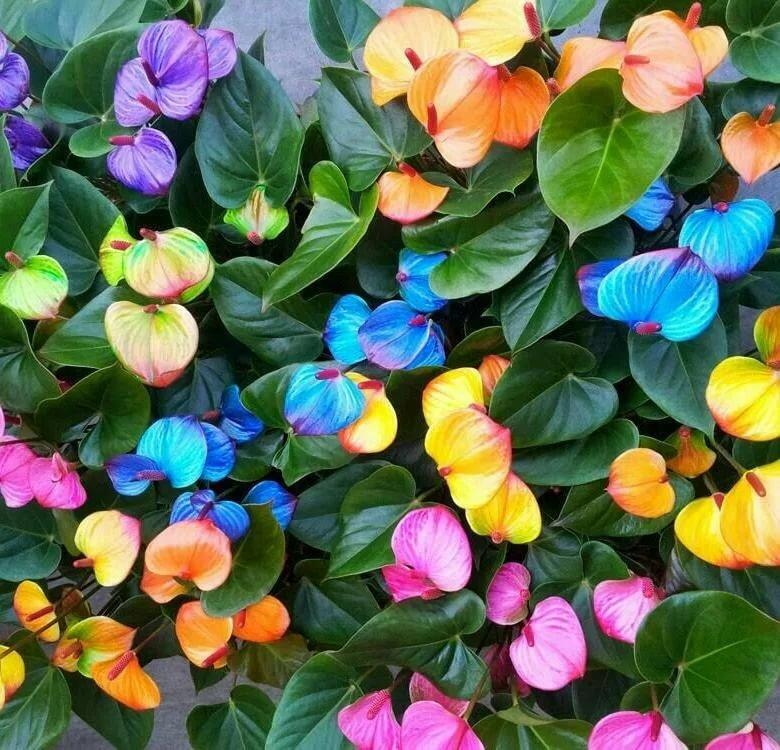 Сорта необычного растения — антуриума: чемпион розового цвета, андре микс красного и другие