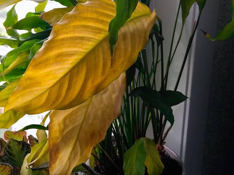 Спатифиллум не цветёт. желтеют, сохнут, вянут, чернеют листья и бутоны. что делать?