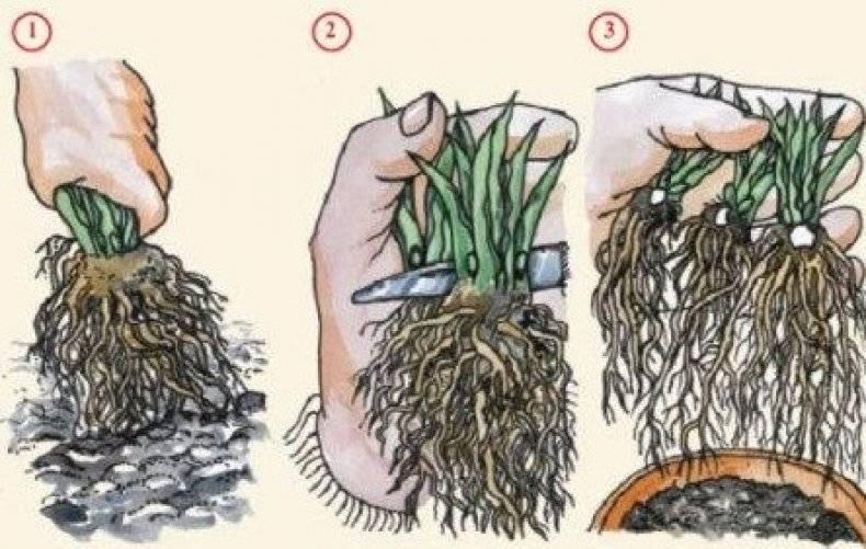 Выращивание мальвы из семян (16 фото): когда сажать? как выглядят семена и как их собрать на рассаду?