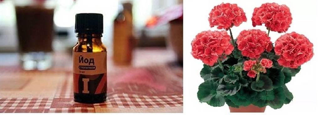 Чем подкормить герань во время цветения, после зимовки: народные и магазинные средства