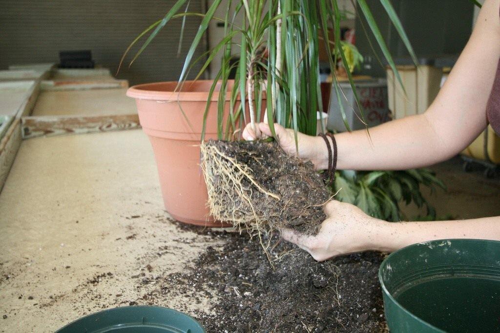 Араукария: выращивание, уход, размножение
