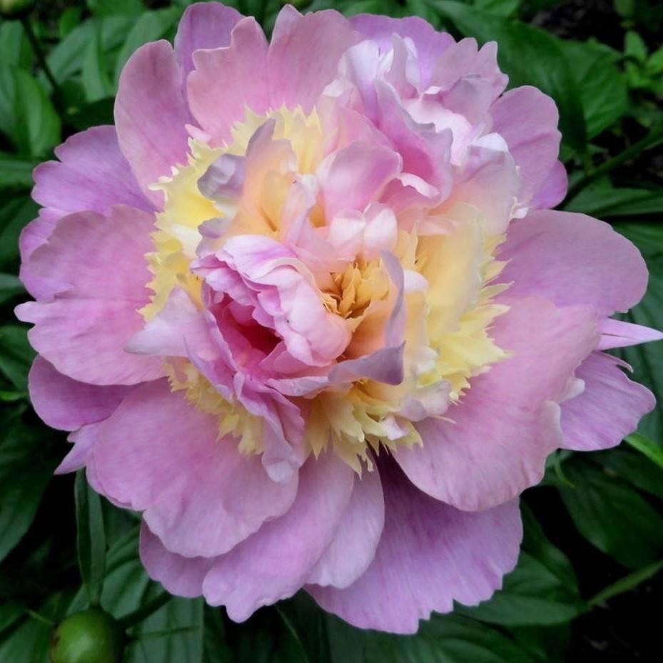 Пионы розовые: лучшие сорта, посадка и уход