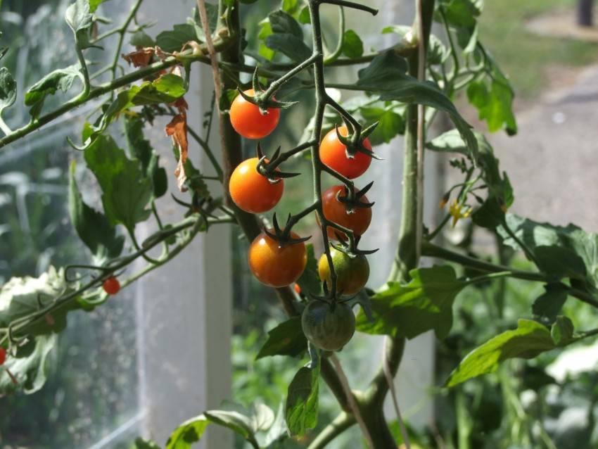 Как в одну лунку сажать по два куста помидор? можно ли использовать любые томаты или нужны специальные?