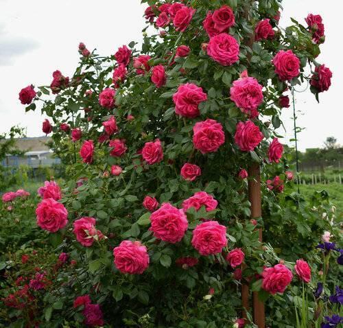 Выращивание розы фишерман френд
