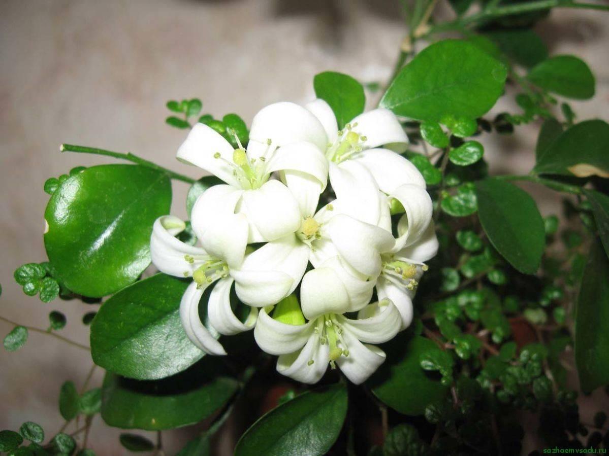 Мурайя: уход в домашних условиях, фото растения