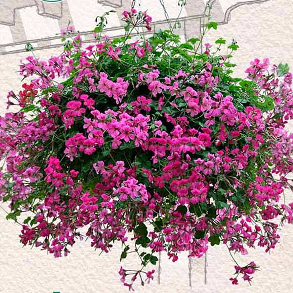 Плющелистная пеларгония – красивое домашнее растение