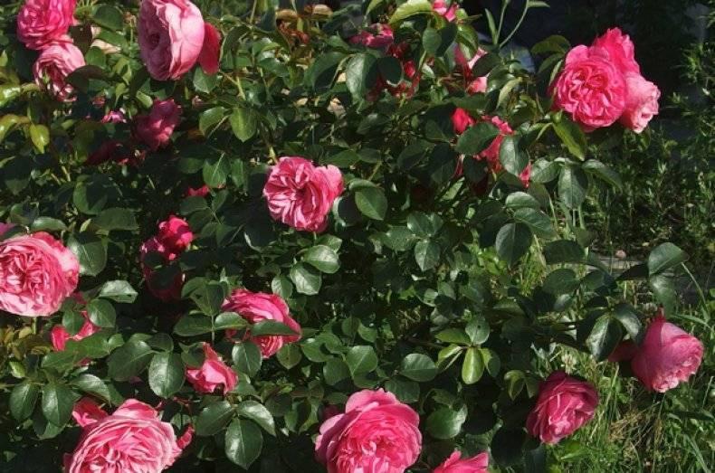 Роза флорибунда болеро — принцесса в белом