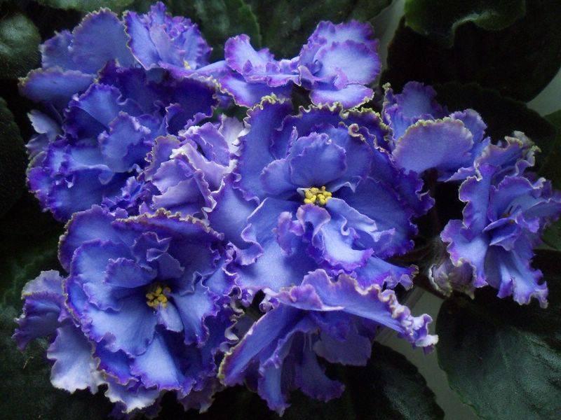Фиалка «голубой дракон» (22 фото): описание сорта, особенности выращивания
