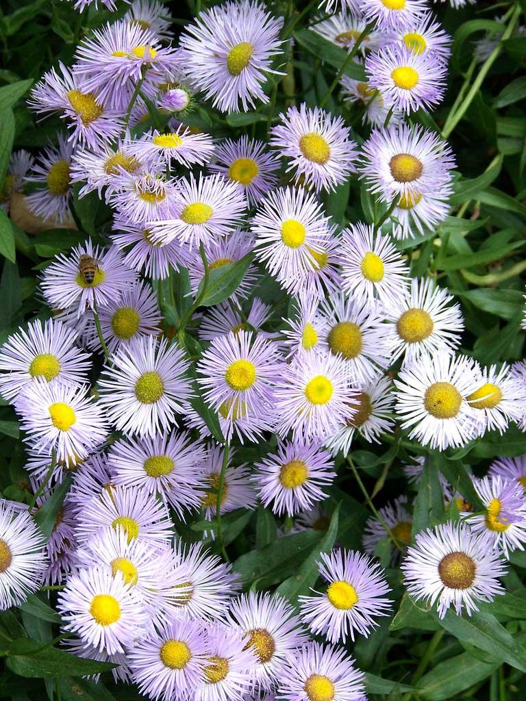 Все о мелколепестнике многолетнем: особенности выращивание сортов азур бьюти, роза июля