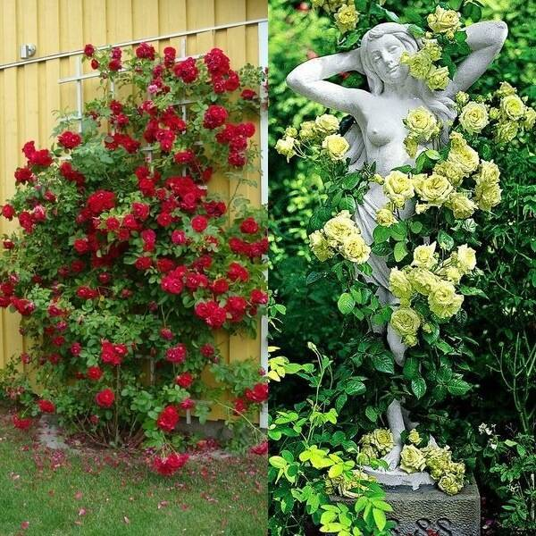 Плетистая роза: сорта, названия, описание с фото, размножение, пересадка, особенности ухода, использование и советы специалистов