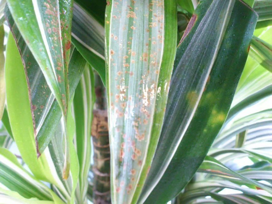 Способы борьбы с болезнями и вредителями драцены