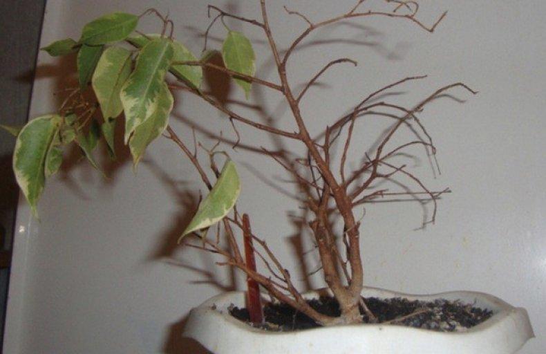 Почему азалия сбрасывает листья, скидывает цветы, отчего осыпаются бутоны, что делать, если опадают все зеленые части, как спасти рододендрон в домашних условиях?