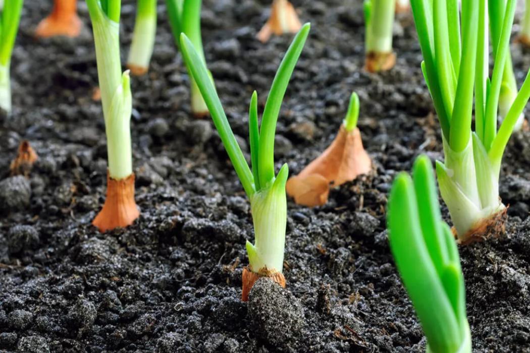 Индийский лук: выращивание из семян, из луковиц, особенности ухода
