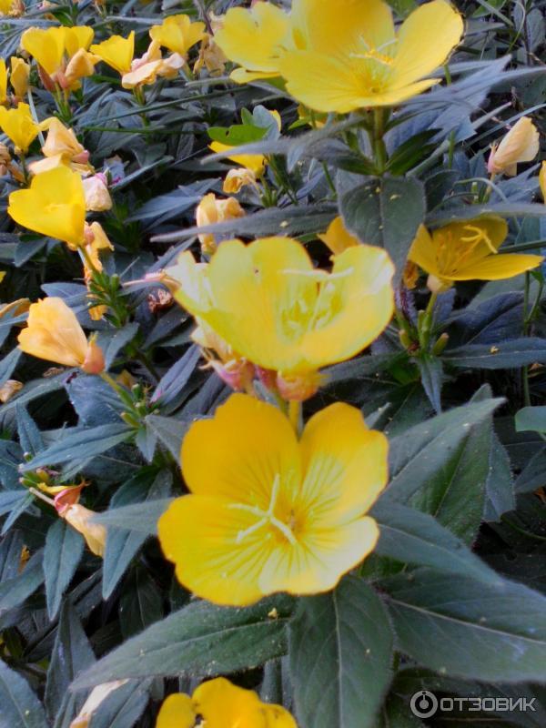 Ослинник или энотера, миссурийская ночная свеча: выращивание из семян