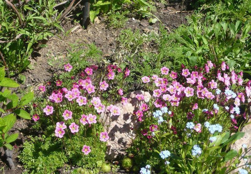 Камнеломка: посадка, уход и размножение в открытом грунте - энциклопедия цветов
