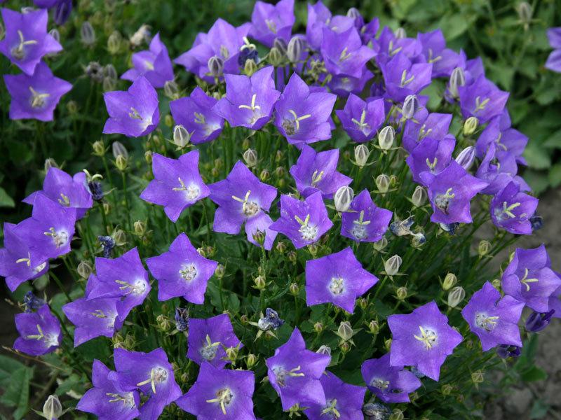 Колокольчик карпатский – выращивание из семян и фото цветов