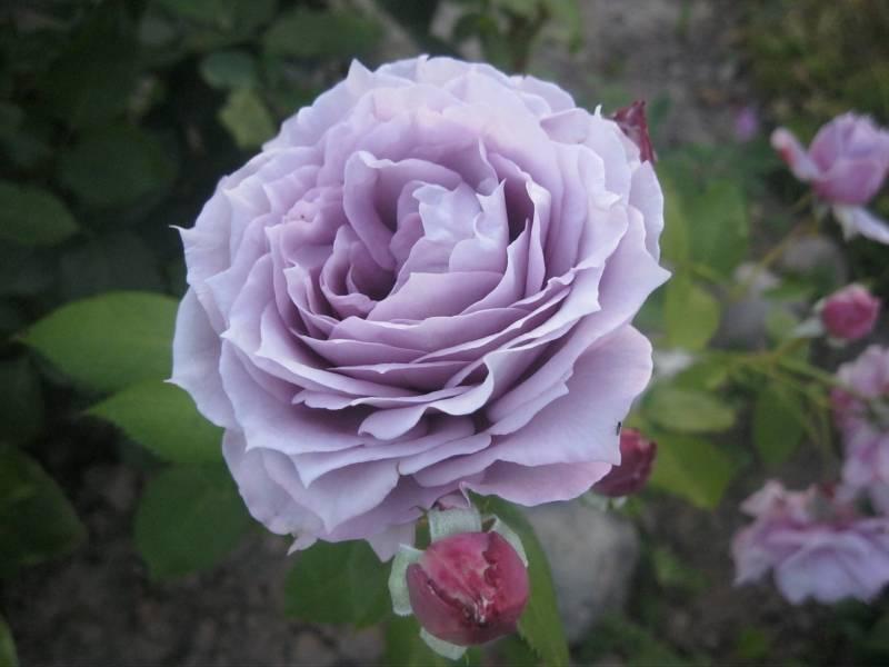 Все о розе новалис: описание и фото, выращивание и уход, нюансы пересадки и другие особенности сорта